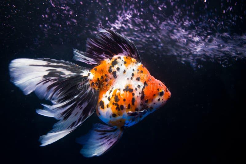 Un pesce che pratica il surfing fotografia stock libera da diritti