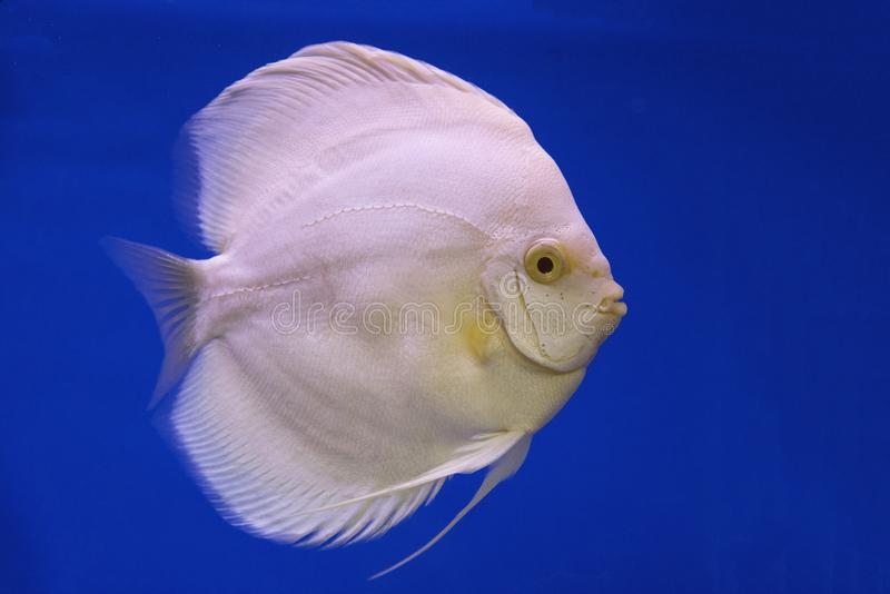 Un pesce d'acqua dolce di disco fotografia stock libera da diritti