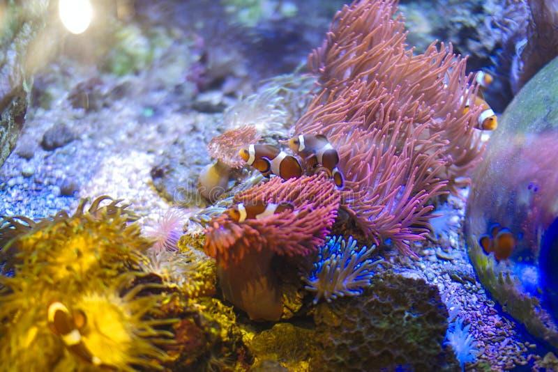 un pesce del pagliaccio sta nuotando all'anemone di mare immagini stock