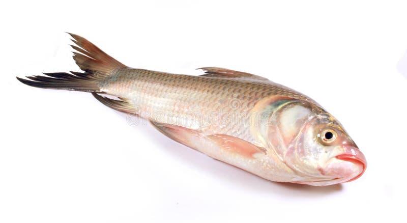 Un pesce della carpa su un fondo bianco immagine stock