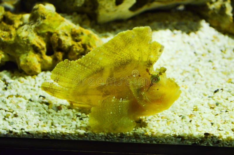 Un pesce di corallo giallo sulla sabbia immagini stock
