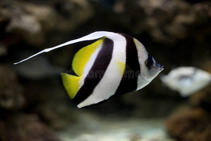 Un pesce di tre bande immagini stock