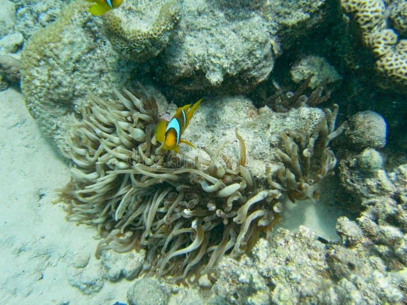 un pesce e l'anemone fotografia stock libera da diritti