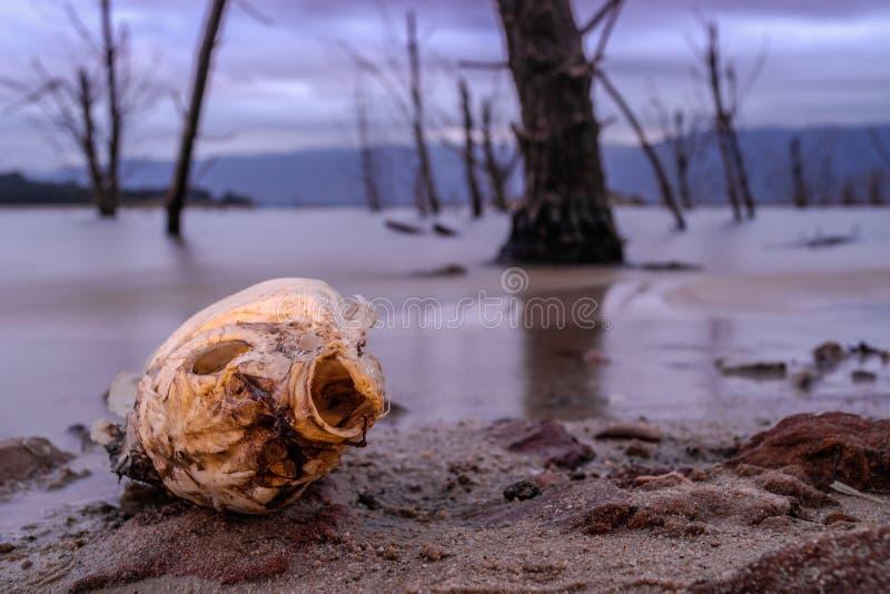 Un pesce morto che si trova dalla riva del lago immagine stock libera da diritti