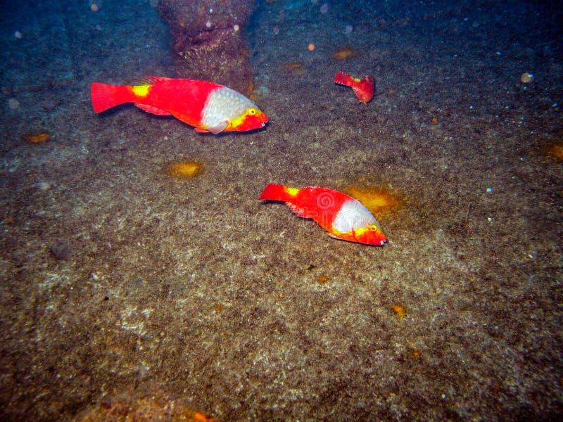 Un pesce pappagallo di tre femmine pasce sulla piattaforma di un rimorchiatore incavato fotografia stock libera da diritti