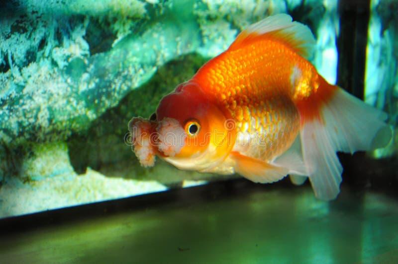 Un pesce rosso in un acquario immagini stock libere da diritti