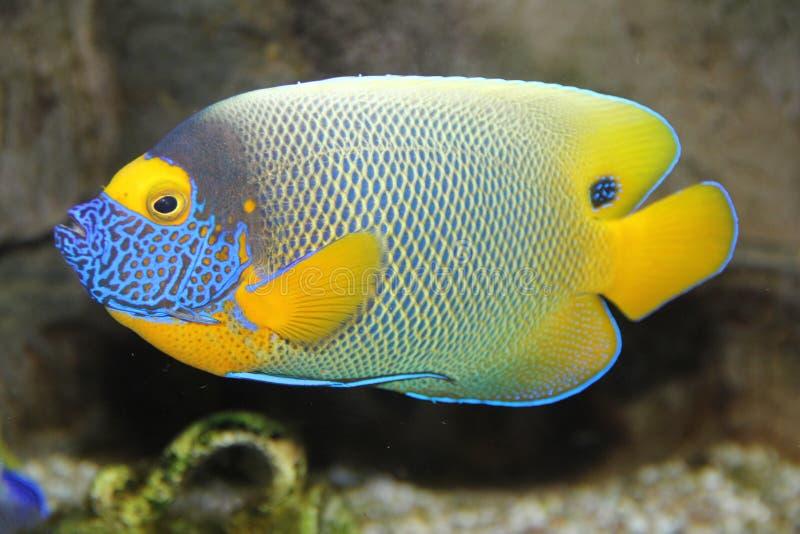 Un pesce vibrante immagini stock