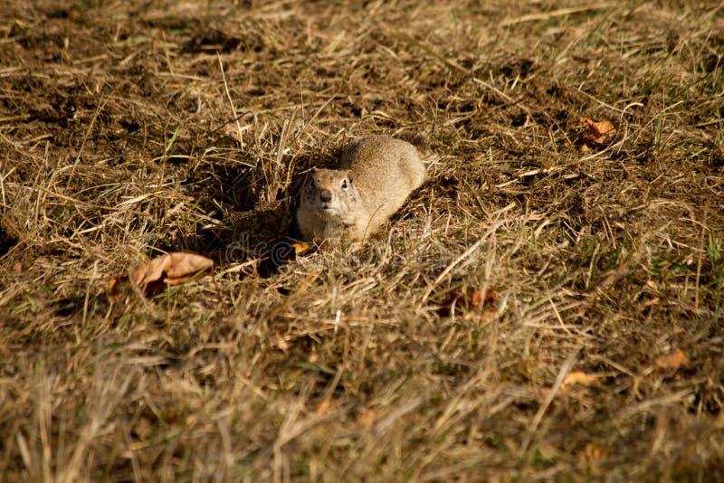 Un petit écureuil au sol photo stock