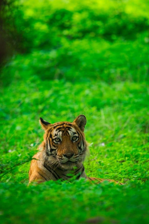 Un petit animal de tigre masculin aperçu dans une mousson où la forêt est comme le tapis vert chez Ranthambore Tiger Reserve image stock