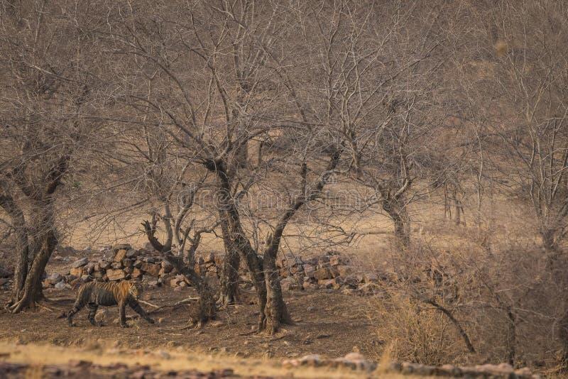 Un petit animal de tigre masculin sur une balade en égalisant la lumière au parc national de Ranthambore images stock