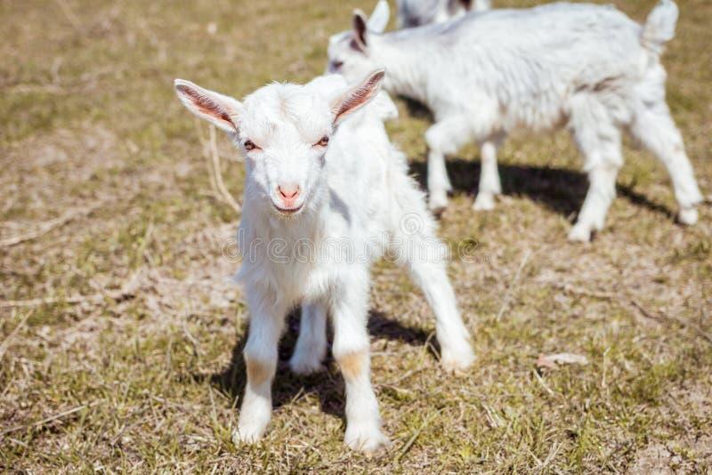 Un petit animal quadrupède Hatchling d'une chèvre Animal drôle photo libre de droits