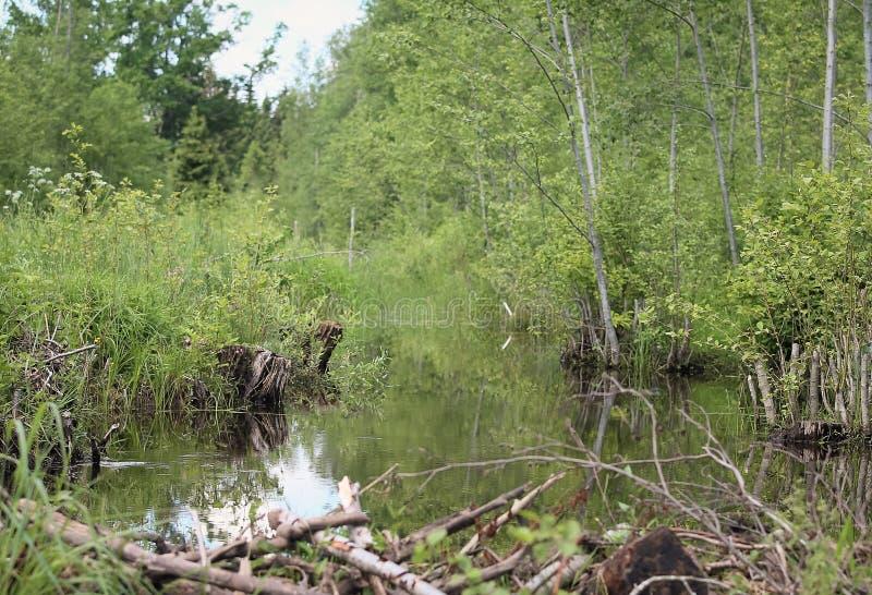 Un petit barrage de rivière et de castors image libre de droits