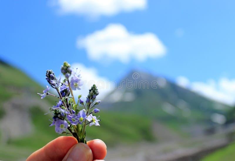 Un petit bouquet d'usine de Veronica dans des doigts sur le fond des montagnes et du ciel bleu avec des nuages photographie stock