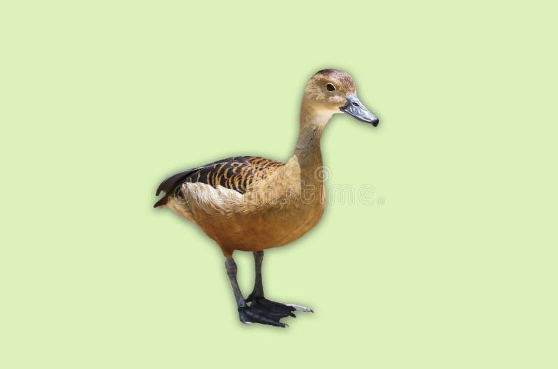 Un petit canard de canard sauvage d'isolement sur le fond vert mou photographie stock libre de droits