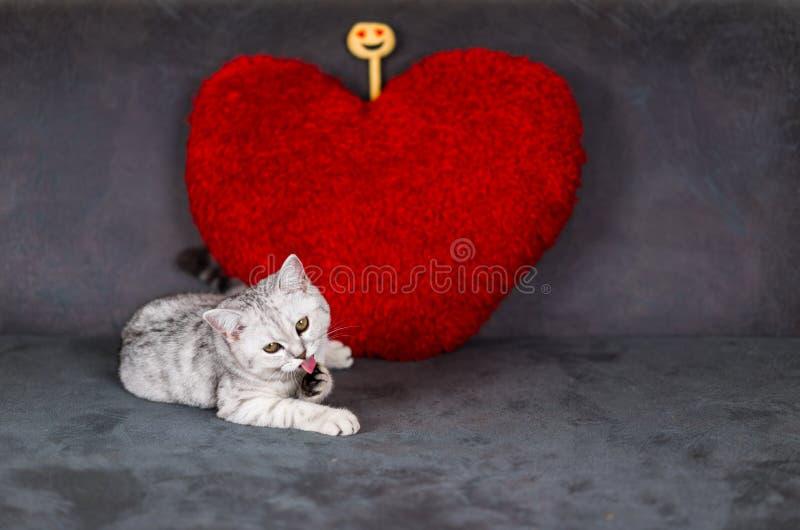 Un petit chat mignon, pli écossais tigré argenté de cheveux courts, se trouvant sur le sofa noir regardant une caméra, langue et  photos stock