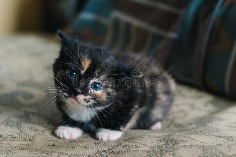 Un petit chat noir avec les taches et les yeux bleus blancs et rouges se trouve sur le sofa avec un regard effrayé photos libres de droits