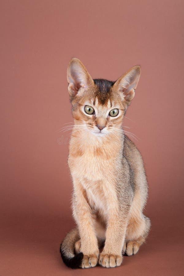 Un petit chat vermeil abyssinien, minou image libre de droits
