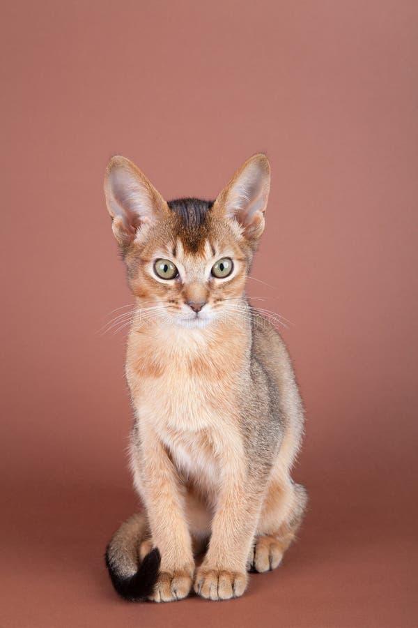 Un petit chat vermeil abyssinien, minou photo libre de droits