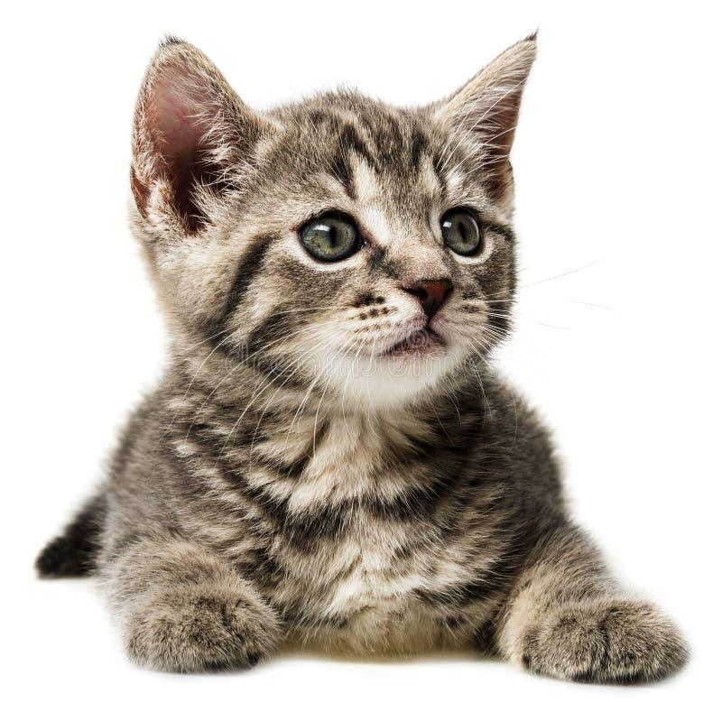 Un petit chaton mignon sur un fond blanc photo stock - Enlever les puces sur un chaton ...