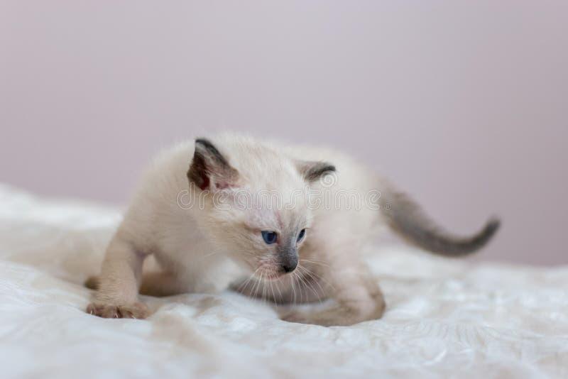 Un petit chaton siamois dans une pose de tigre dévoile Nez de Brown et queue, yeux bleus image libre de droits