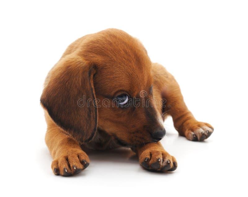 Un petit chien photo stock