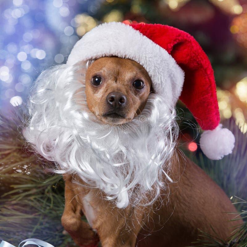 Un petit chien dans une boîte en bois, avec un chapeau de Santa Claus et avec une barbe blanche, sur un fond d'arbre de Noël, a photo libre de droits