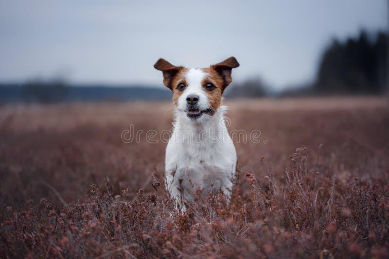 Un petit chien fonctionne dans un domaine de bruyère photographie stock libre de droits