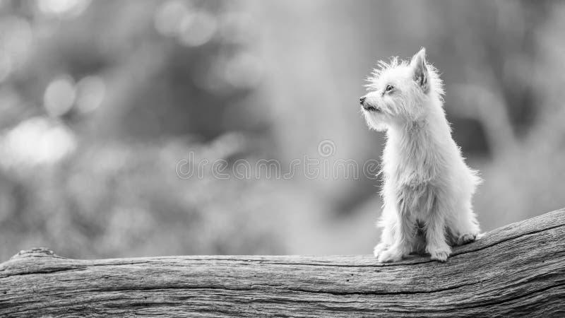 Un petit chiot blanc mignon de Chorkie se reposant sur un rondin de branche ou un arbre tombé photographie stock