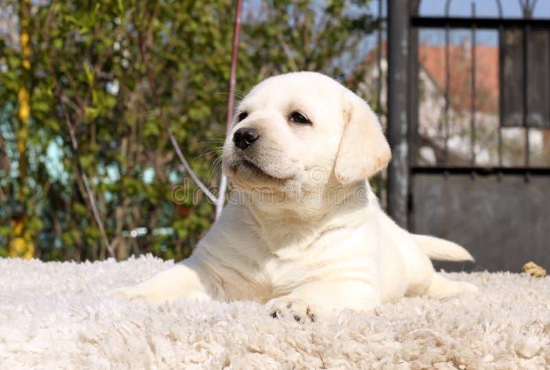 Un Petit Chiot De Labrador Sur Un Fond Beige Photo stock - Image du ...