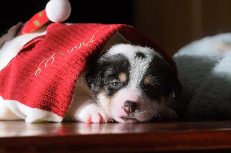 Un petit chiot, Jack Russell Terrier, a ouvert ses yeux pour la première fois et voit le monde sur les yeux Le chien se trouve su photographie stock