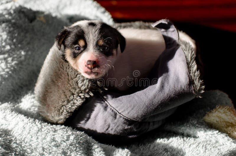 Un petit chiot, Jack Russell Terrier, a ouvert ses yeux pour la première fois et voit le monde sur les yeux Le chien se trouve su photos libres de droits