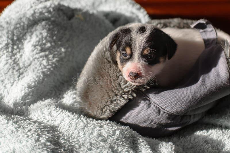 Un petit chiot, Jack Russell Terrier, a ouvert ses yeux pour la première fois et voit le monde sur les yeux Le chien se trouve su images libres de droits