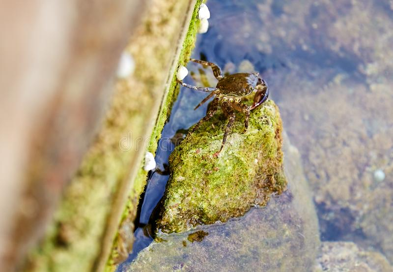 Un petit crabe brun se dorant sur la pierre images stock