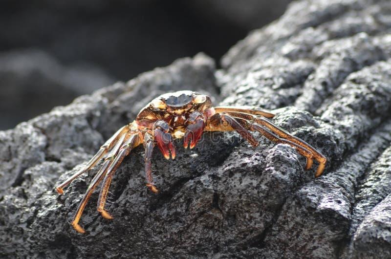 Un petit crabe de couleur orange s'expose au soleil sur une roche volcanique noire images stock