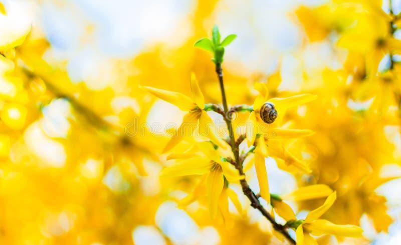 Un petit escargot sur le forsythia jaune image stock