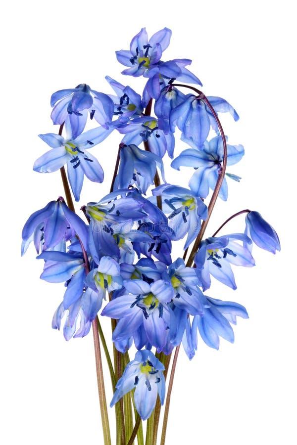 Un petit groupe de perce-neige bleus tendres d'avril de ressort photo stock