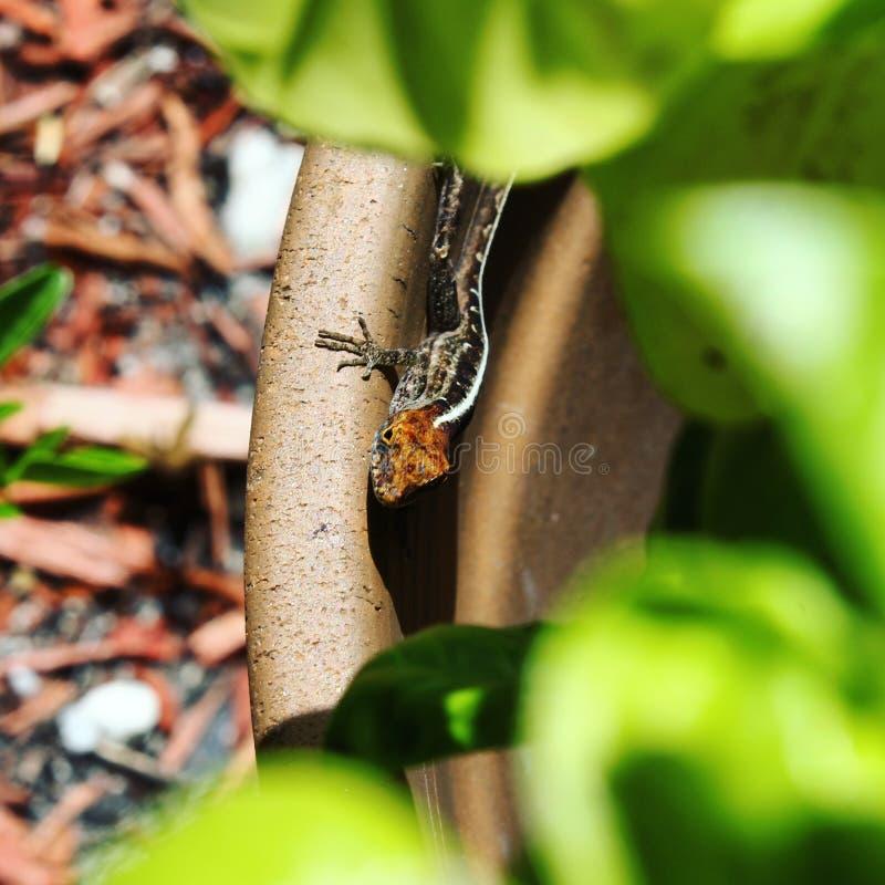 Un petit lézard effronté ; et x29 ; photo libre de droits