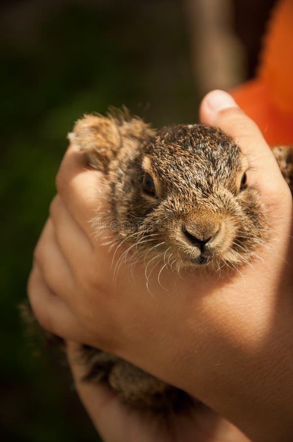 Un petit lièvre dans les mains d'un enfant photographie stock libre de droits