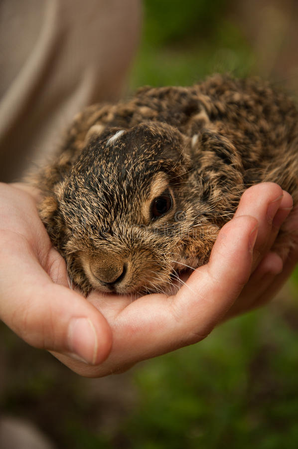 Un petit lièvre dans les mains d'un enfant images stock