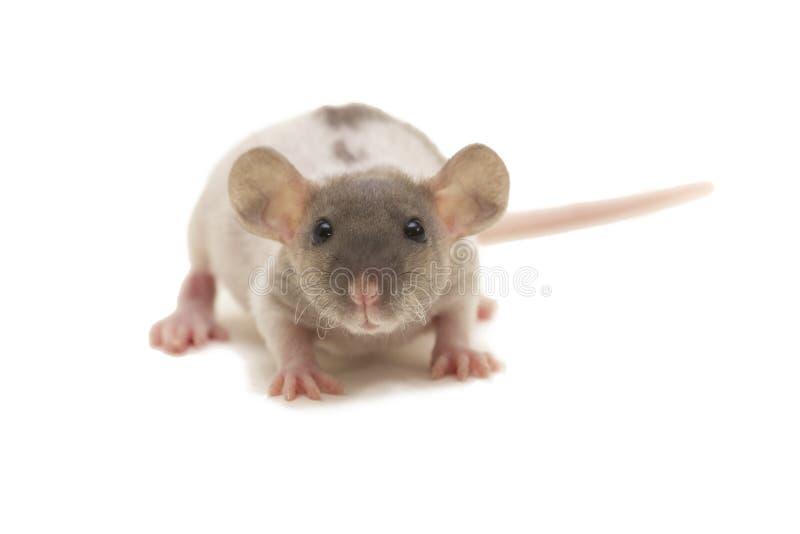 Un petit rat de duvet d'abruti d'isolement sur le blanc images libres de droits
