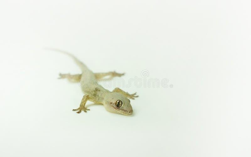 Un petit reptile - photo en gros plan de gecko de lézard de maison image libre de droits