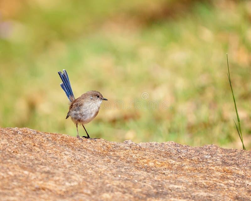 Un petit roitelet coupé la queue bleu image stock