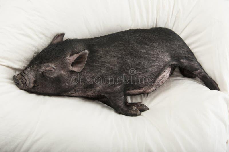 Un petit sommeil noir de porc images libres de droits