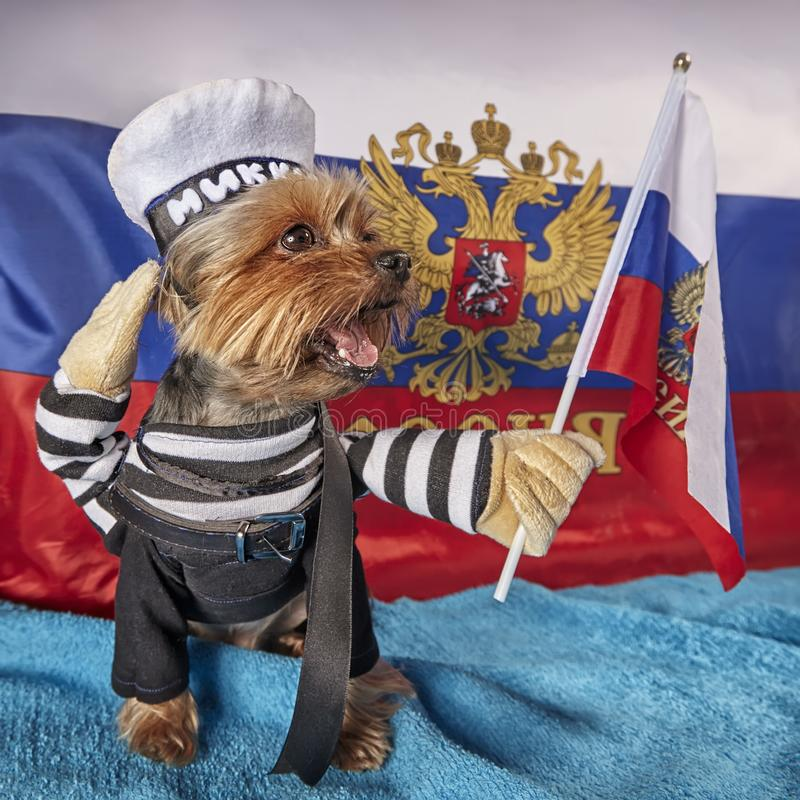 Un petit vieux chiot adorable de Yorkshire Terrier avec un thème patriotique sur le fond de drapeau image libre de droits