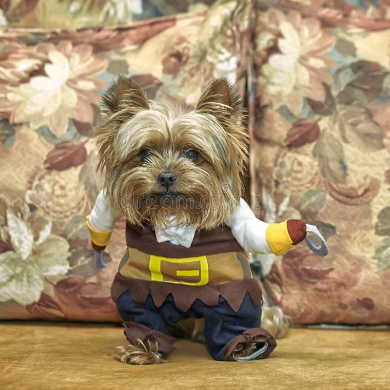 Un petit vieux chiot adorable de Yorkshire Terrier sur un entraîneur avec un costume de pirate Cosplay photos stock