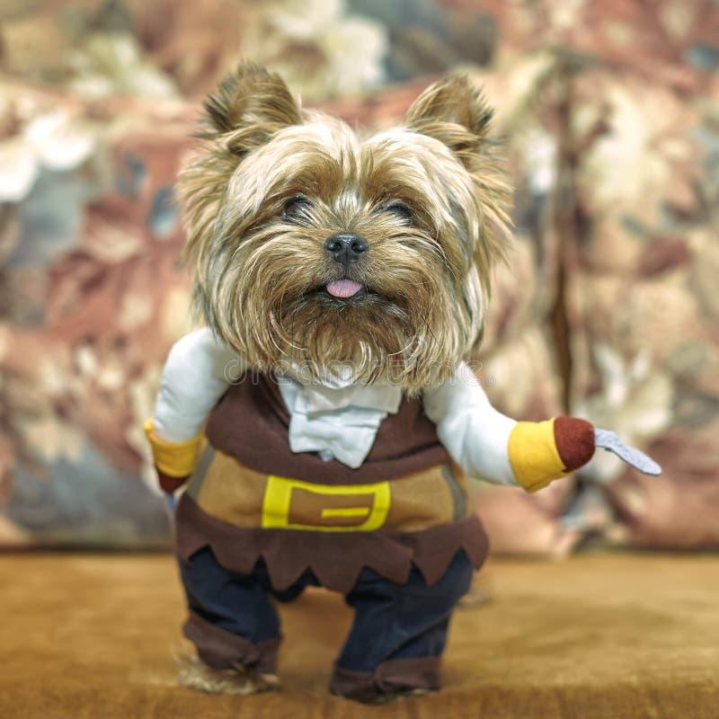 Un petit vieux chiot adorable de Yorkshire Terrier sur un entraîneur avec un costume de pirate Cosplay photos libres de droits