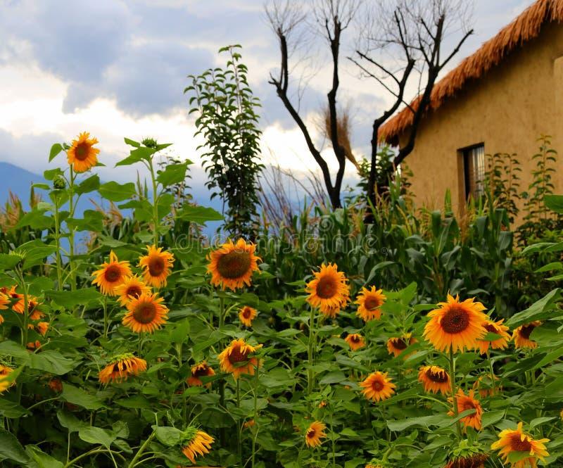 Un petit yard plein des tournesols photo stock