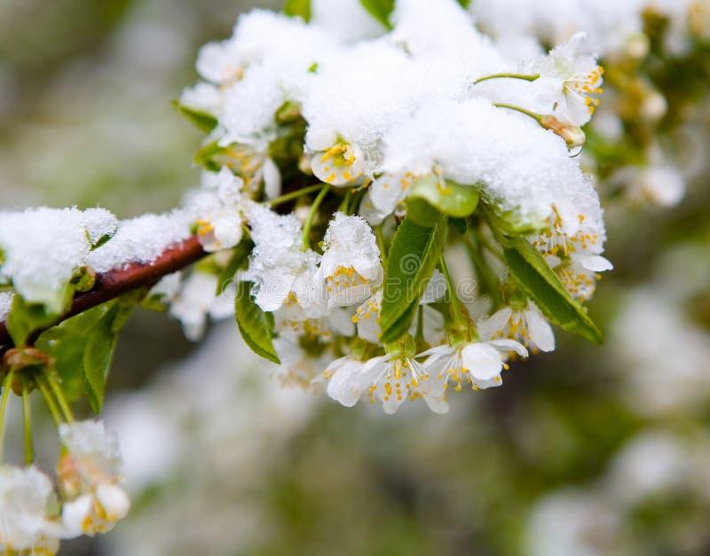 un phénomène naturel Chutes de neige inattendues de ressort et t fleurissant images stock