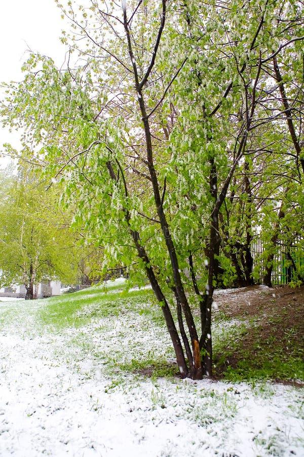 un phénomène naturel Chutes de neige inattendues de ressort et t fleurissant photos libres de droits