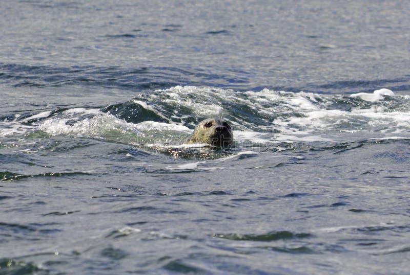 Un phoque nage dans l'eau photo libre de droits